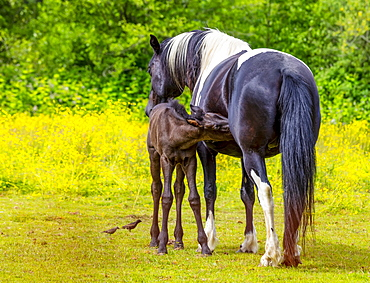 Horse and foal standing together in a pasture; Saskatchewan, Canada