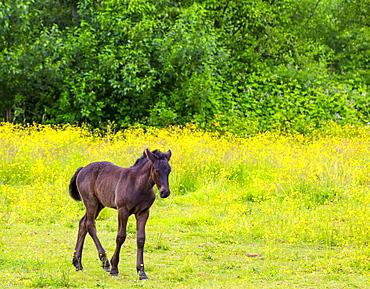 Brown horse in a pasture; Saskatchewan, Canada