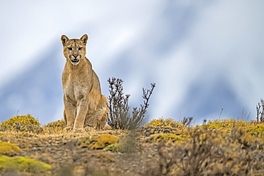 Puma sitting on the landscape in Southern Chile; Chile