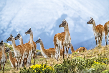 Guanaco (Lama guanicoe) is the primary food source for the puma of Southern Chile; Torres del Paine, Chile