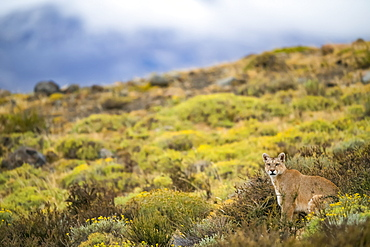 Puma walking through the landscape in Southern Chile; Chile