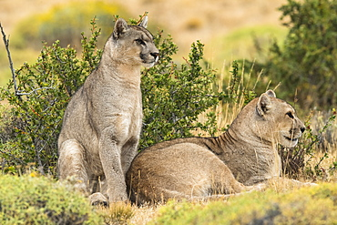 Two puma on the landscape in Southern Chile; Chile