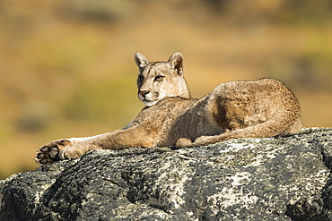 Puma lying on a rock in Southern Chile; Chile