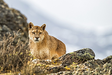 Puma standing in the landscape in Southern Chile; Chile
