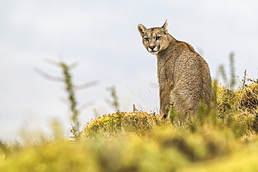 Puma sitting and looking back at the camera, Southern Chile; Chile