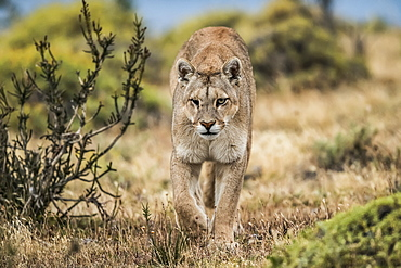 Puma with an injured eye walking through the landscape in Southern Chile; Chile