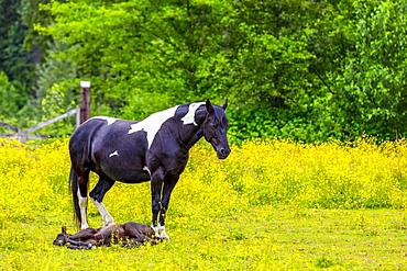 Horse standing in a pasture with foal lying at it's feet; Canada