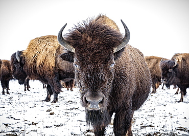 Close-up of Plains Bison (Bison bison) looking at the camera; Manitoba, Canada