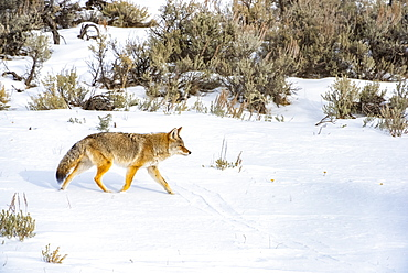 Coyote (Canis latrans) trotting across a snowy meadow on a sunny winter day in Yellowstone National Park; Wyoming United States of America