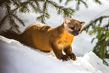 American Marten (Martes americana) sits on snowbank beneath conifer branches; Silver Gate, Montana, United States of America