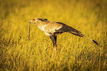 Secretary bird (Sagittarius serpentarius) stands holding snake in beak, Grumeti Serengeti Tented Camp, Serengeti National Park; Tanzania