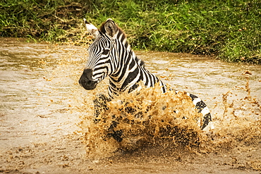 Plains zebra (Equus quagga) struggles across river in spray, Cottar's 1920s Safari Camp, Maasai Mara National Reserve; Kenya