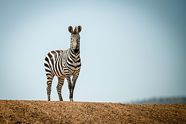 Plains zebra (Equus quagga) stands on ridge in sun, Grumeti Serengeti Tented Camp, Serengeti National Park; Tanzania