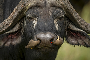 Two yellow-billed oxpeckers (Buphagus africanus) in Cape buffalo (Syncerus caffer) nostrils, Klein's Camp, Serengeti National Park; Tanzania