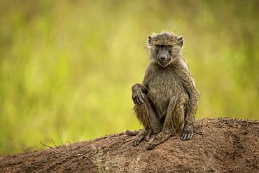Olive baboon (Papio anubis) sits on bank facing camera, Grumeti Serengeti Tented Camp, Serengeti National Park; Tanzania
