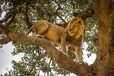 Male lion (Panthera leo) stands on branch looking around, Cottar's 1920s Safari Camp, Maasai Mara National Reserve; Kenya