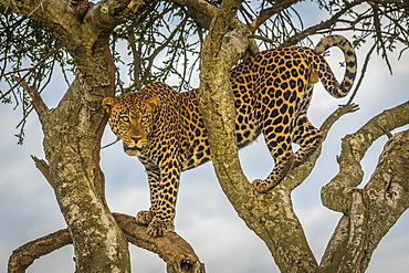 Male leopard (Panthera pardus) stands in tree looking out, Cottar's 1920s Safari Camp, Maasai Mara National Reserve; Kenya