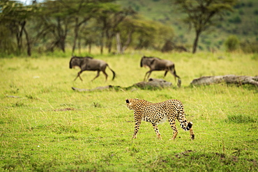 Male cheetah (Acinonyx jubatus) watches two galloping blue wildebeest (Connochaetes taurinus), Klein's Camp, Serengeti National Camp; Tanzania