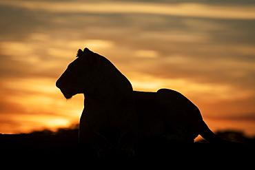 Lioness (Panthera leo) lies in silhouette against dawn sky, Grumeti Serengeti Tented Camp, Serengeti National Park; Tanzania