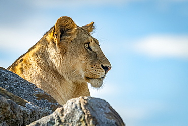 Lioness (Panthera leo) lies on kopje looking over rocks, Klein's Camp, Serengeti National Park; Tanzania