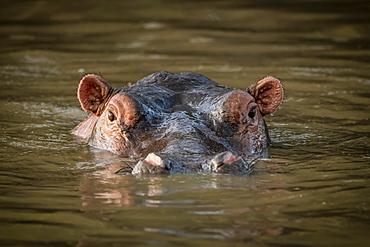 Hippo (Hippopotamus amphibius) stands in water staring at camera, Grumeti Serengeti Tented Camp, Serengeti National Park; Tanzania