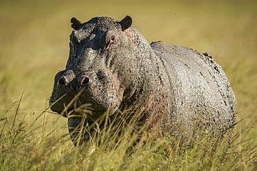 Hippo (Hippopotamus amphibius) stands in long grass facing camera, Grumeti Serengeti Tented Camp, Serengeti National Park; Tanzania