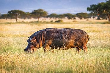 Hippo (Hippopotamus amphibius) grazes in long grass eyeing camera, Grumeti Serengeti Tented Camp, Serengeti National Park; Tanzania