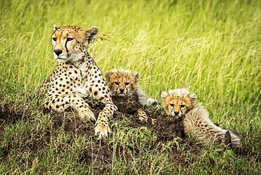 Female cheetah (Acinonyx jubatus) lies on mound with two cubs, Grumeti Serengeti Tented Camp, Serengeti National Park; Tanzania