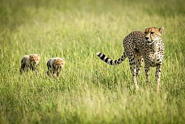 Female cheetah (Acinonyx jubatus) crosses grassland with two cubs, Grumeti Serengeti Tented Camp, Serengeti National Park; Tanzania