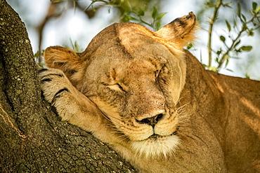Close-up of lioness (Panthera leo) on branch lying asleep, Grumeti Serengeti Tented Camp, Serengeti National Park; Tanzania