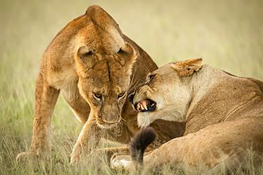 Close-up of lioness lying growling at cub, Grumeti Serengeti Tented Camp, Serengeti National Park; Tanzania