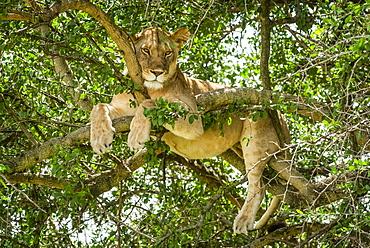 Close-up of lioness (Panthera leo) in tree looking down, Grumeti Serengeti Tented Camp, Serengeti National Park; Tanzania