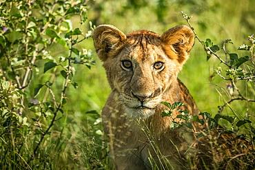Close-up of lion cub (Panthera leo) sitting in bushes, Grumeti Serengeti Tented Camp, Serengeti National Park; Tanzania