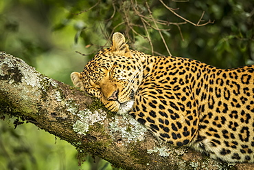 Close-up of leopard (Panthera pardus) asleep on lichen-covered branch, Cottar's 1920s Safari Camp, Maasai Mara National Reserve; Kenya
