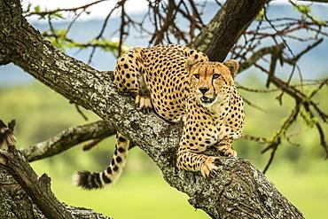 Male cheetah (Acinonyx jubatus) lies in tree looking out, Klein's Camp, Serengeti National Park; Tanzania