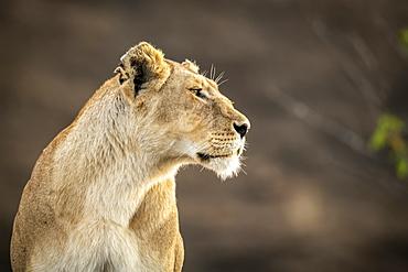 Close-up of lioness (Panthera leo) sitting with blurred background, Cottar's 1920s Safari Camp, Maasai Mara National Reserve; Kenya