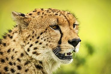 Close-up of cheetah (Acinonyx jubatus) face against blurred background, Klein's Camp, Serengeti National Park; Tanzania