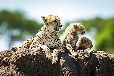 Cheetah and two cubs (Acinonyx jubatus) lying on mound, Grumeti Serengeti Tented Camp, Serengeti National Park; Tanzania