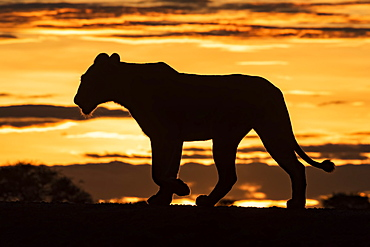 Silhouette of lioness (Panthera leo) at sunrise crossing ridge, Grumeti Serengeti Tented Camp, Serengeti National Park; Tanzania