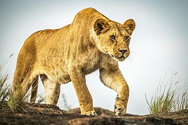 Lioness (Panthera leo) walks on rock under blue sky, Cottar's 1920s Safari Camp, Maasai Mara National Reserve; Kenya