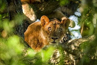 Lioness (Panthera leo) lies in tree looking through branches, Grumeti Serengeti Tented Camp, Serengeti National Park; Tanzania