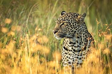 Close-up of leopard (Panthera pardus) sitting in long grass, Grumeti Serengeti Tented Camp, Serengeti National Park; Tanzania