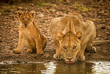Lioness (Panthera leo) lies drinking from pool by cub, Grumeti Serengeti Tented Camp, Serengeti National Park; Tanzania