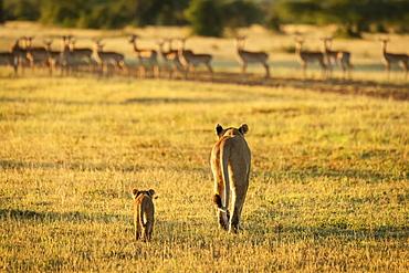 Impala (Aepyceros melampus) harem watches lioness and cub (Panthera leo) approach, Grumeti Serengeti Tent Camp, Serengeti National Park; Tanzania