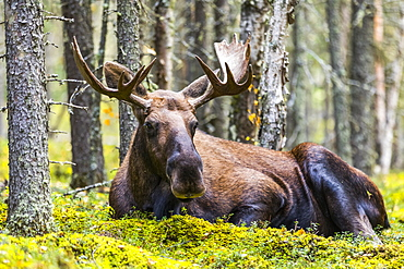 A bull moose (Alces alces) resting in a forest on Fort Greely; Alaska, United States of America