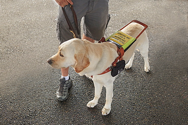 Blind man standing with service dog