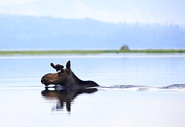 Moose with flies over head crossing river