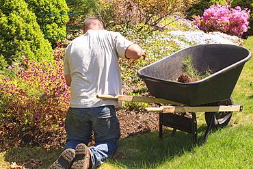 Landscaper with wheelbarrow weeding a flower garden