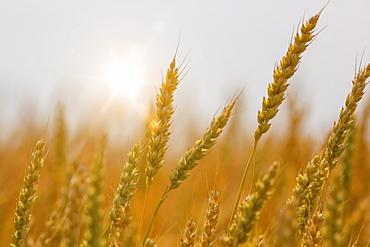 Close-up of ripening wheat heads; Alberta, Canada