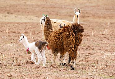 Llamas and cria (Lama glama); Nor Lipez Province, Potosi Department, Bolivia